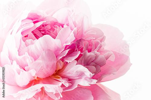 Carta da parati fresh peony flower on the white background
