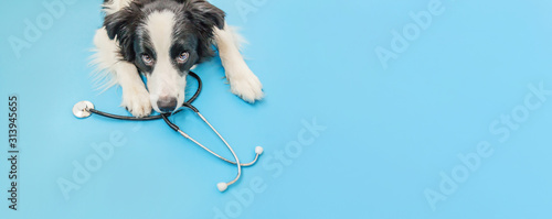 Foto Puppy dog border collie and stethoscope isolated on blue background