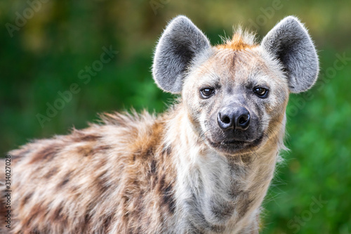 Fototapeta Close up of a wild hyena staring at the camera against a green bokeh background