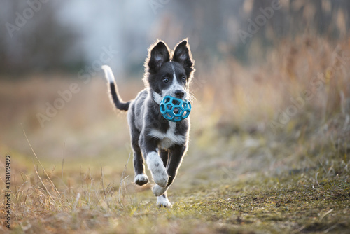 Leinwand Poster happy border collie puppy running outdoors with a toy ball in mouth