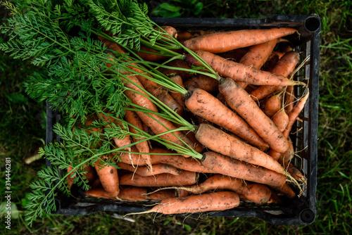Photo Harvesting carrots. Fresh carrot in black box.