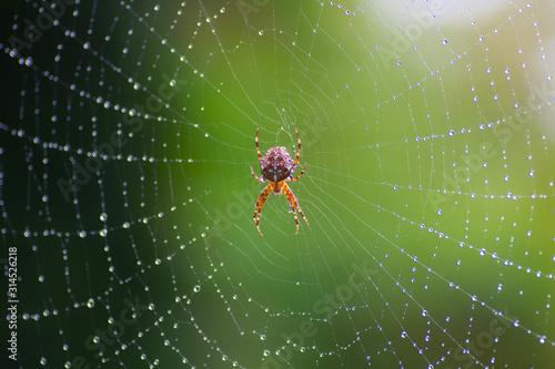 Fotografia cross spider on a web with dew drops