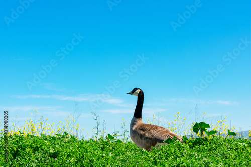 Adult Canadian goose walk on green landscape, blooming yellow flowers with blue Fototapet