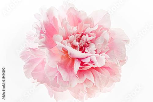 Stampa su Tela fresh peony flower on the white background