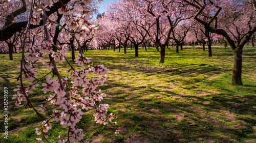 Foto Pink alleys of blooming with flowers almond trees in a park in Madrid, Spain spr