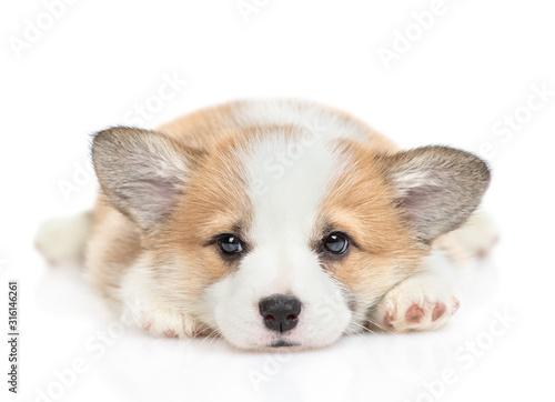 Sad Pembroke Welsh Corgi puppy looks at camera Fotobehang