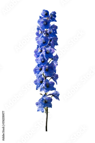 Photo Delphinium isolated on a white background