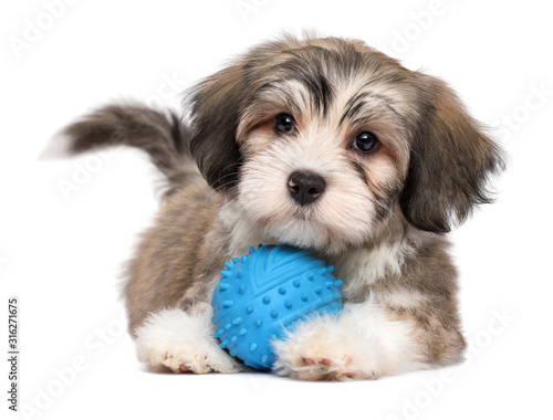 Fototapeta Cute lying havanese puppy with a blue toy ball