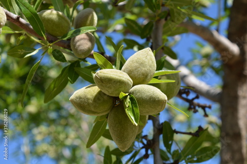 Fotografering green almonds on a tree