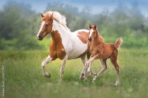 Fotografia Pinto mare and red foal run on spring green  meadow