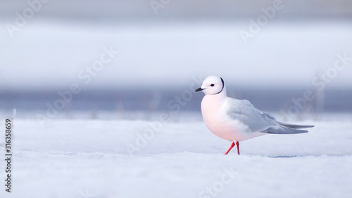 Leinwand Poster Ross's Gull on ice and snow in Barrow, Alaska, the northernmost point in the United States
