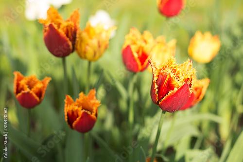 Naklejka na okno łazienkowe Czerwony puszysty tulipan