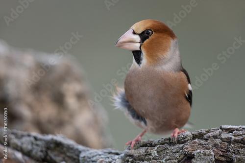 Canvastavla Hawfinch sitting on a branch