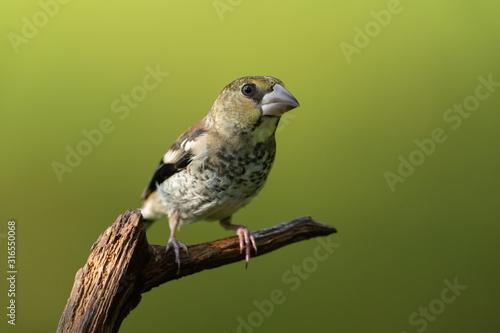 Fotografiet Hawfinch sitting on a branch