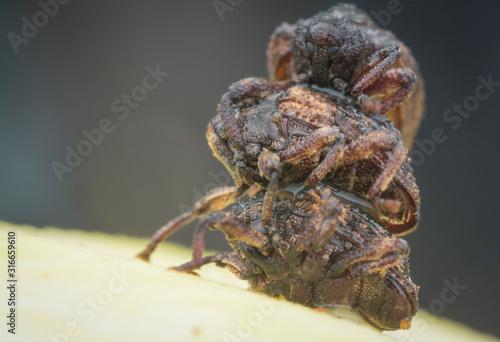 Fotografia Sternochetus mangiferae infesting the ripe mango flesh.