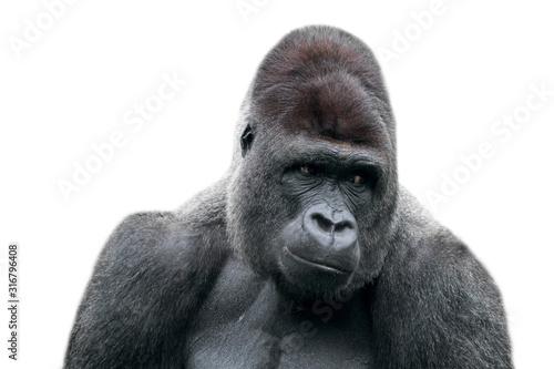Obraz na płótnie Western lowland gorilla (Gorilla gorilla gorilla) close-up of male silverback ag