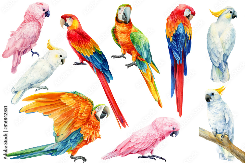 set of parrots, white and pink cockatoo, red and yellow macaw on an isolated white background, watercolor illustration, clipart tropical birds <span>plik: #316842851   autor: Hanna</span>