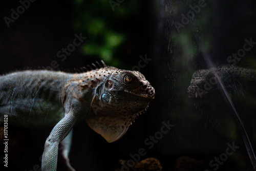 Canvas Print Reflected view of the head of an iguana deep thoughts concept self secret myster