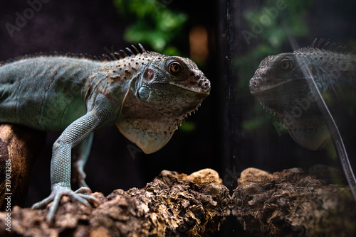 Fotografia Reflected view of the head of an iguana deep thoughts concept self secret myster