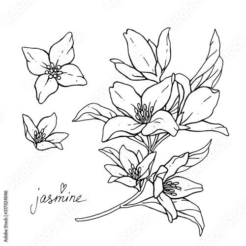 Jasmine flowers are isolated on a white background Fototapeta