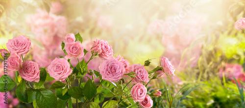 Tajemnicza bajka wiosna kwiatowy szeroki panoramiczny baner z bajecznie kwitnących różowych róż letnich kwiatów fantasy ogród na niewyraźne jasne jasne błyszczące świecące tło i miejsce