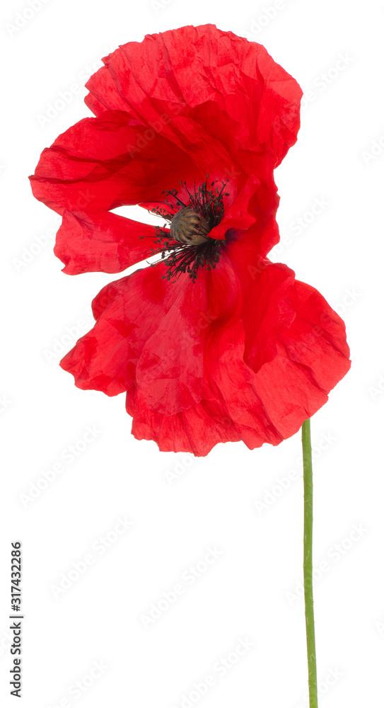 poppy flower isolated <span>plik: #317432286 | autor: _Vilor</span>