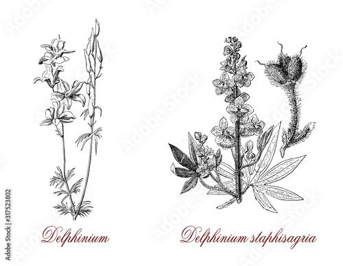 Canvas Print Delphinium staphisagria or larkspur is a species of Delphinium,the flowers are m