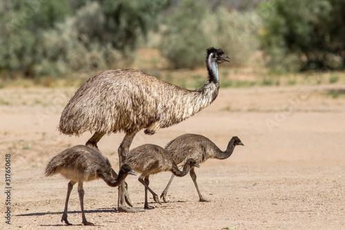 Fotografija Emu with chicks