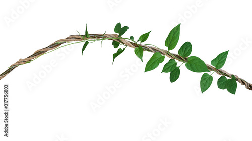 Foto Heart shaped green leaves vine of Cowslip creeper tropic plant climbing and twisted around jungle wild liana plant isolated on white background, clipping path included