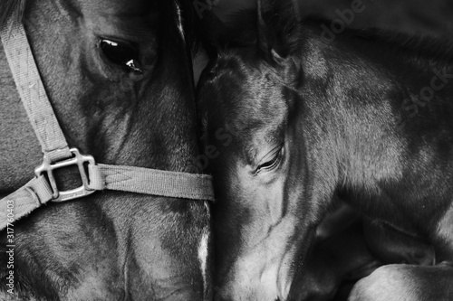 Leinwand Poster Loving tender moment shows bond between mare and foal horse close up