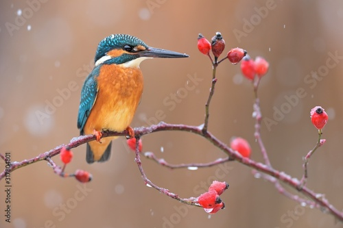 Photo Common kingfisher ( alcedo atthis ) sitting on the branch of the Rosa canina  in