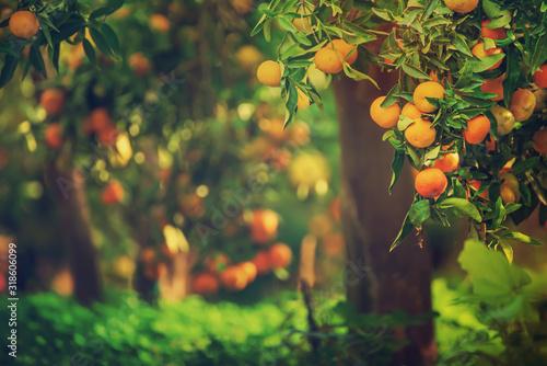 Obraz na plátne Tangerine sunny garden