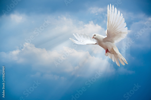 Dove in the air with wings wide open Fototapet
