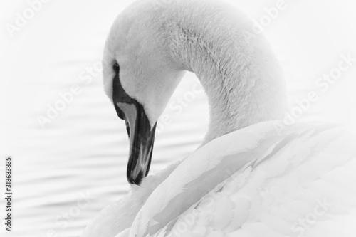 Obraz na plátně Close-Up Of Swan Swimming On Lake
