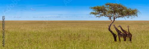 Photo Three giraffes under acacia tree
