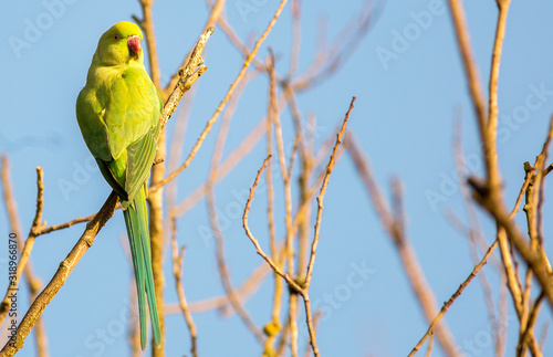 Photo Beautiful ring necked green parakeet (genus Psittacula, of the family Psittacidae) perched on a bare tree branch with a natural clear pale sky background