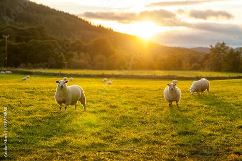 Fotografia sheep in a field highlands scotland