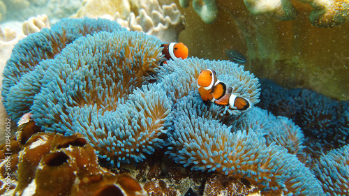 Foto Clown Anemonefish and anemone on coral reef