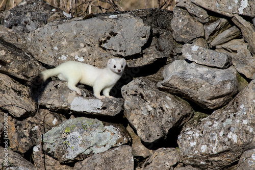 Fotografia Ermine (Mustela erminea) with its characteristic winter white skin, perched on a