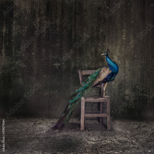 Carta da parati Peacock Perching On Wooden Chair Against Weathered Wall
