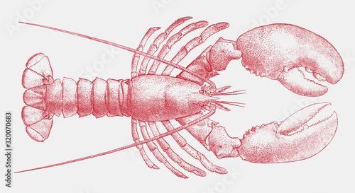 Fotografie, Obraz American lobster homarus americanus, popular seafood from the Atlantic coast of