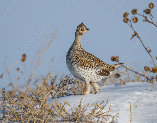 Fotografiet Sharp-tailed Grouse in the snow