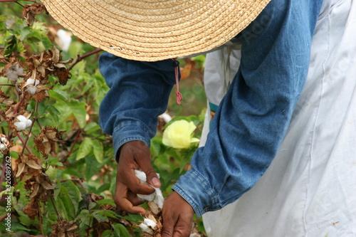 Leinwand Poster Man Harvesting Sea Island Cotton On Field