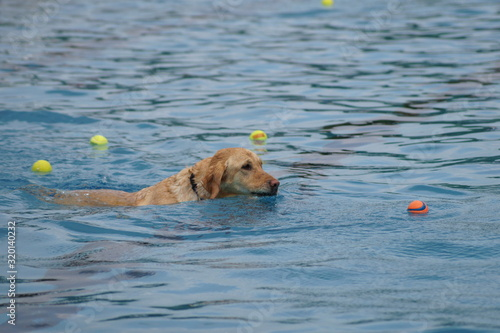 CLOSE-UP OF dog swimming in pool, playing fetch Fototapeta