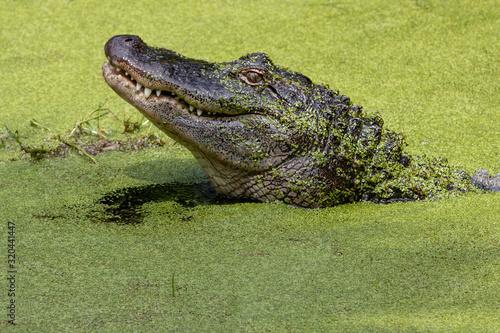 Photo Closeup of the head of crocodile in green water