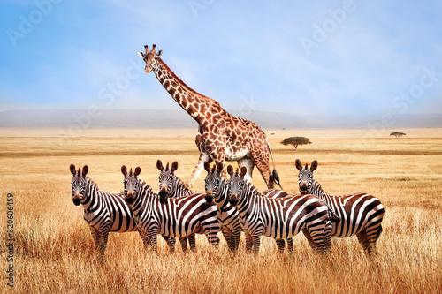 Grupa dzikie zebry i żyrafa w afrykańskiej sawannie przeciw pięknemu niebieskiemu niebu z białymi chmurami. Wildlife of Africa. Tanzania. Park Narodowy Serengeti. Afrykański krajobraz.
