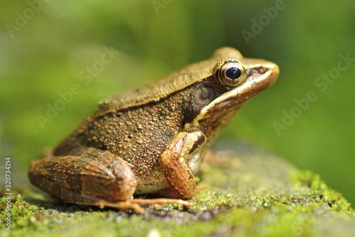 frog Fototapet