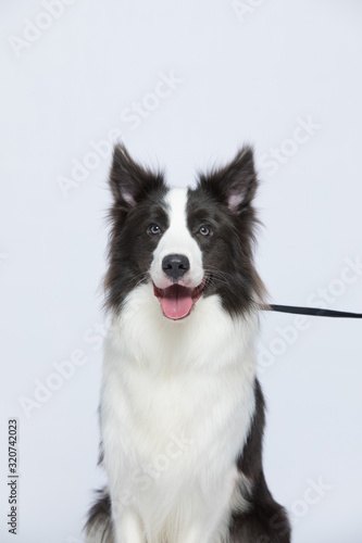 Foto The border collie poses and poses against a white background