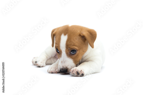 Fototapeta Jack Russell Terrier puppy isolated on white background