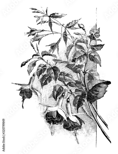 Carta da parati Antique vintage line art illustration, engraving or drawing of branch of blooming Fuchsia plant or flower